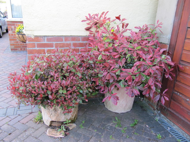 photinias in a pot flickr photo sharing. Black Bedroom Furniture Sets. Home Design Ideas