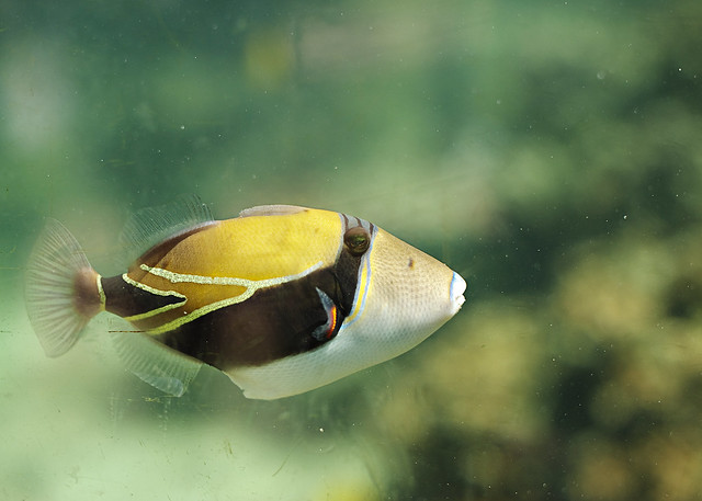 Reef Triggerfish, the state's official fish