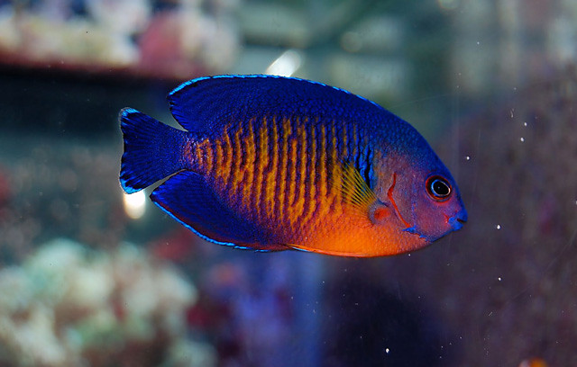 Coral Beauty Angelfish (centropyge Bispinosus) | Flickr ...