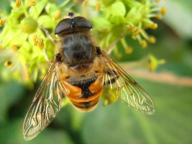 Mosca zangano o mosca abeja a photo on flickriver for Ahuyentar abejas jardin