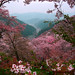 sakura mountians yoshino by Paul Hillier Photography