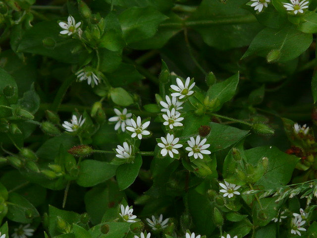 Chickweed In Hindi