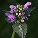Lamium - Photo (c) Bill Barber, some rights reserved (CC BY-NC)