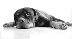 dog breed, animal, dog, mammal, cane corso, guard dog, monochrome photography, monochrome, black-and-white,