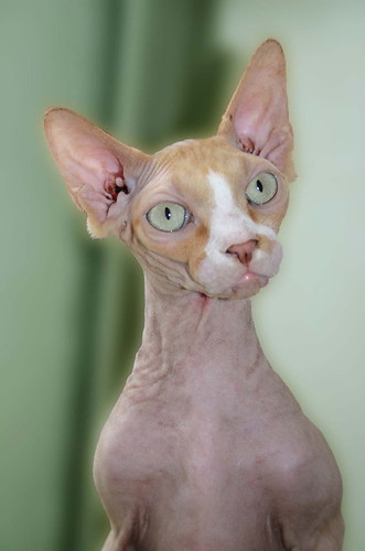 Cats Hairless Sphinx Angelito 5