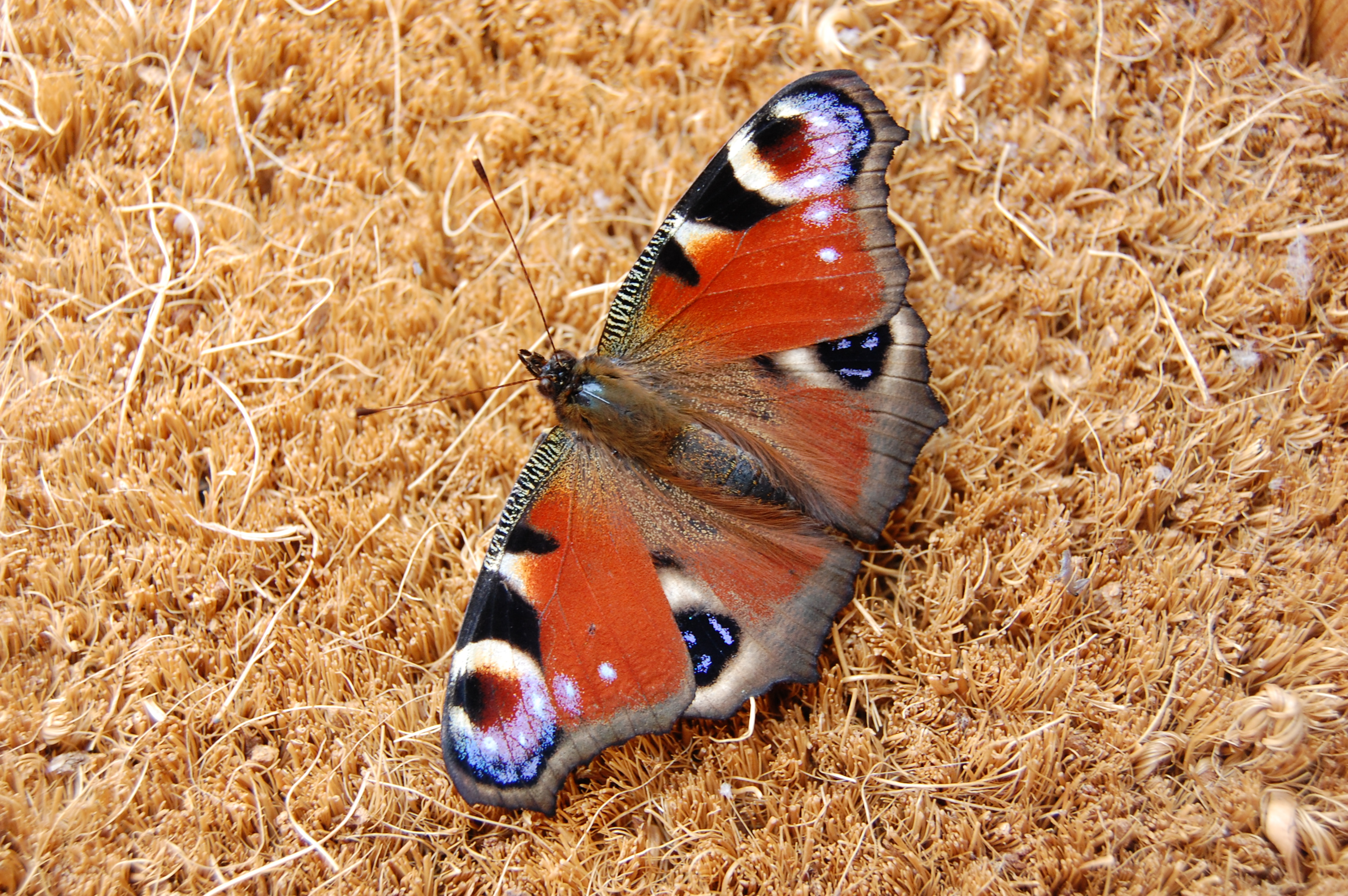 Butterfly, Priory Farm Darsham