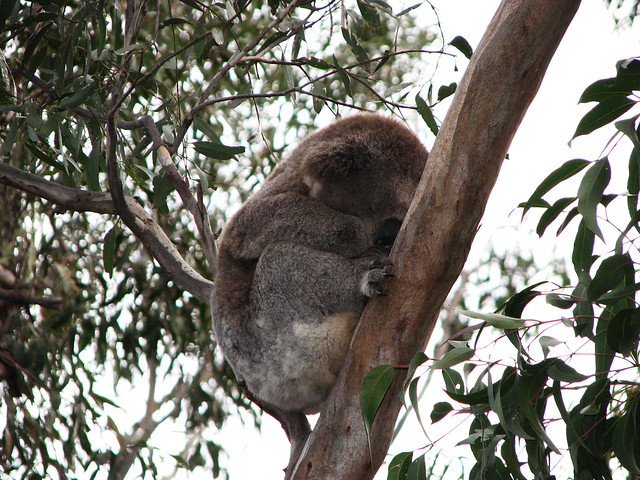 Koala High in the Tree | Flickr - Photo Sharing!