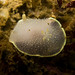 Acanthodoris hudsoni - Photo (c) Ken-ichi Ueda, some rights reserved (CC BY-NC)