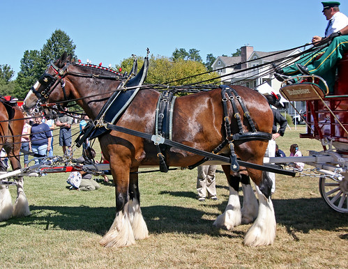 beer kent hunter bud chestertown ctown clydesdales anheuserbusch kentcounty 300thbirthday budweiserclydesdales budweiserbeer chestertownmd chestertownmaryland nflravens kentco wilmerpark kentcountymaryland shoreshotphotography 300thbirthdayparty thefamousbudweiserclydesdales