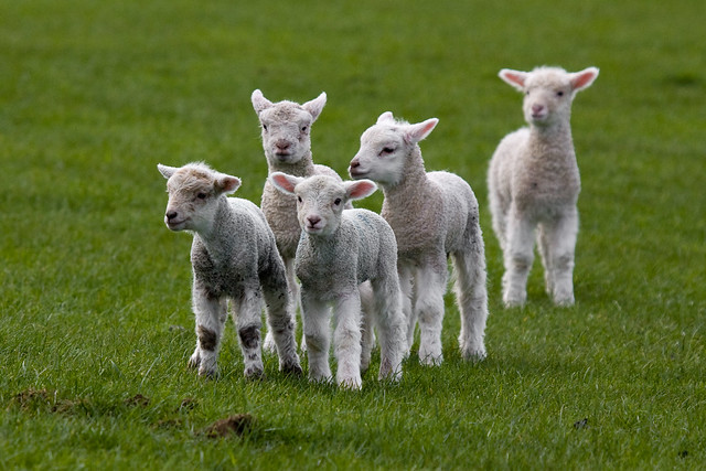 Lambs Baby Sheep A Gallery On Flickr