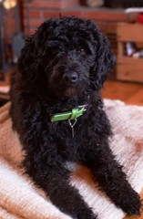 puppy(0.0), boykin spaniel(0.0), toy poodle(1.0), miniature poodle(1.0), standard poodle(1.0), dog breed(1.0), animal(1.0), dog(1.0), schnoodle(1.0), pet(1.0), lagotto romagnolo(1.0), mammal(1.0), poodle crossbreed(1.0), irish water spaniel(1.0), poodle(1.0), cockapoo(1.0), goldendoodle(1.0), portuguese water dog(1.0), spanish water dog(1.0), barbet(1.0), american water spaniel(1.0), black(1.0),
