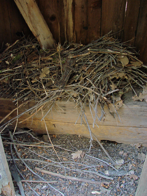 active woodrat nest in outhouse