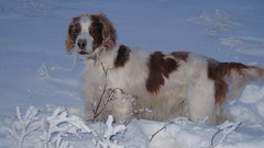 dog breed, animal, kooikerhondje, english setter, dog, welsh springer spaniel, pet, spinone italiano, field spaniel, drentse patrijshond, brittany, setter, russian spaniel, spaniel, french spaniel, english springer spaniel, carnivoran,