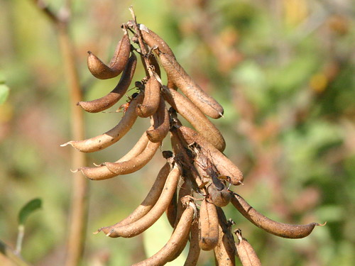 Yellow Wild Pea Pods 20081215