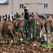 Small photo of Amish Farmer and Mules