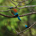 Turquoise-browed Motmot - Photo (c) Jerry Oldenettel, some rights reserved (CC BY-NC-SA)