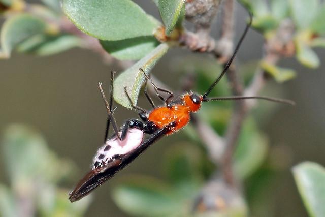Callibracon wasp