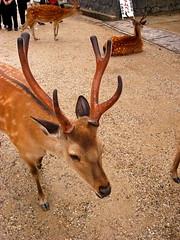 Deer - Messenger of the Gods in Nara Park