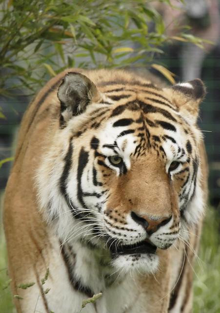 Tiger hybrid - photo#36