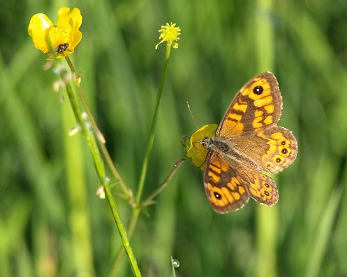 butterfly thenetherlands vlinder nootdorp dobbeplas lasiommatamegera wallbutterfly argusvlinder marrrcelll