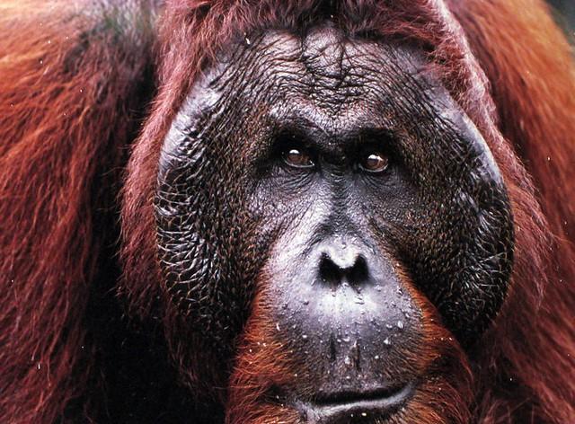 Orangutang han i Sepilok