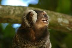 tufted capuchin(0.0), fox squirrel(0.0), squirrel monkey(0.0), capuchin monkey(0.0), white-headed capuchin(0.0), marmot(0.0), whiskers(0.0), macaque(0.0), animal(1.0), primate(1.0), fauna(1.0), marmoset(1.0), close-up(1.0), old world monkey(1.0), new world monkey(1.0), wildlife(1.0),