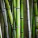bamboo  by cynthiac78