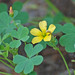 Creeping Woodsorrel - Photo (c) Jerry Oldenettel, some rights reserved (CC BY-NC-SA)