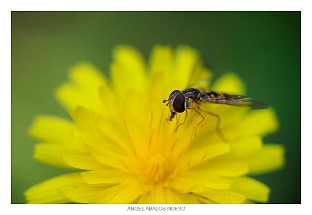 Sírfido (Syrphidae)