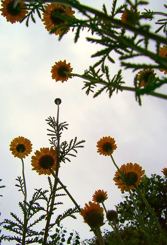 flowers light sky orange plant flower green nature up leaves yellow closeup garden outdoors interesting stem little lookingup daisy bloom unfocused yellowflowers differentview