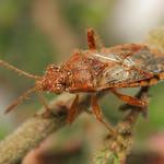 közönséges üvegszárnyú-poloska - Rhopalus parumpunctatus