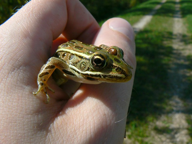 A squirmy leopard frog