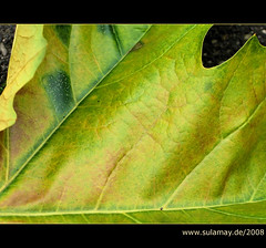 Platanengold - golden plane-tree-leaf
