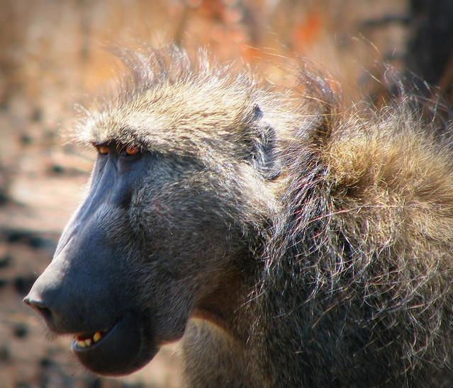 Chacma baboon - photo#21