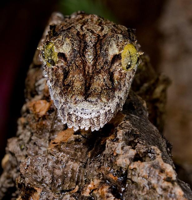 Uroplatus sikorae sikorae- Mossy Leaf-tailed Gecko