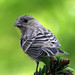 Immature House Finch