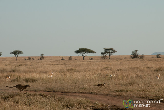 Cheetah on the Hunt - Serengeti, Tanzania