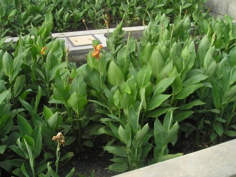 Canna growing as part of a wastewater treatment system in Bhuj
