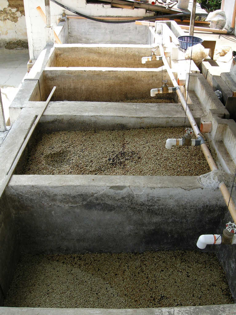 Fermenting Coffee Beans ~ The coffee collective guatemala and finca vista