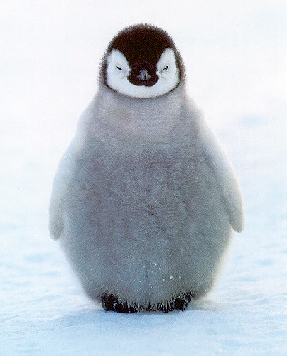 baby Penguin by tnorm11