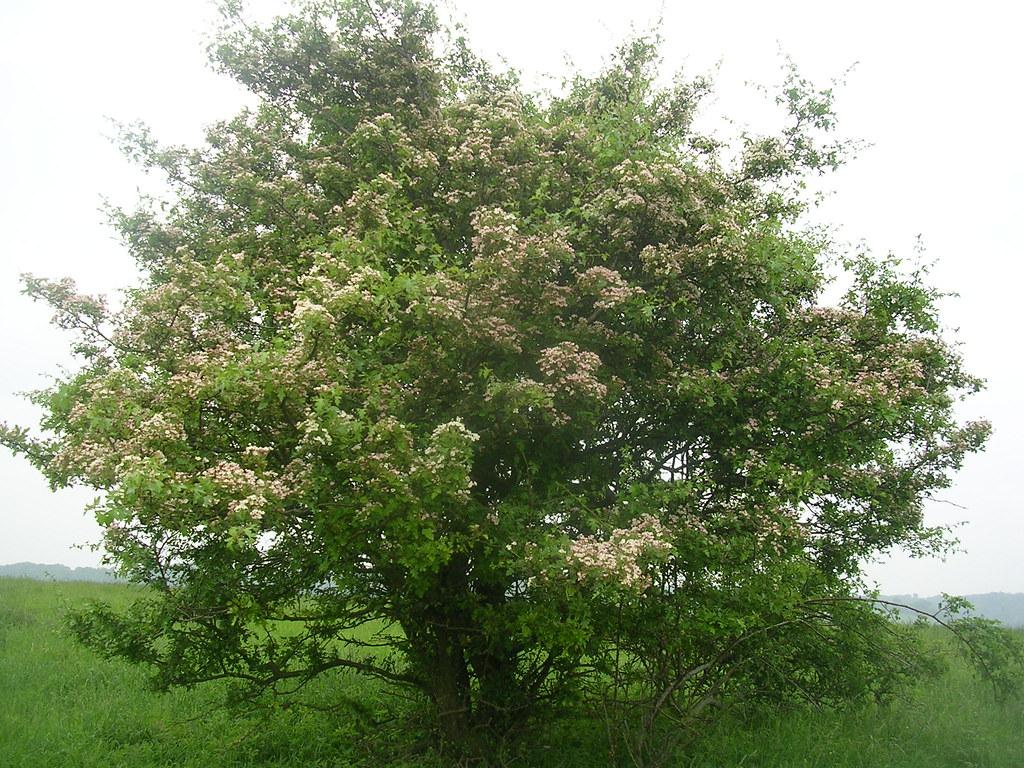 Hawthorn in flower Tring Circular