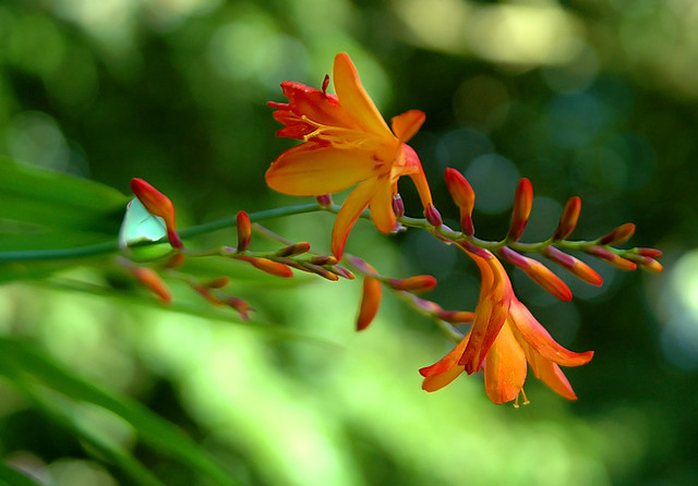 CROCOSMIA by magda indigo