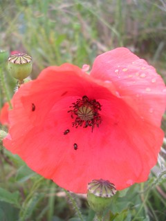 Poppy with bugs