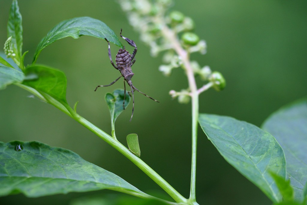 Two Leaf Hoppers On Pokeweed