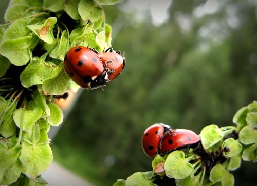 red summer macro green nature leaves canon bug suomi finland insect leaf bokeh outdoor maria images ladybird ladybug sue vantaa kesä lehti luonto laakso punainen hyönteinen vihreä southernfinland leppäkerttu insectphotography canonpowershota710is marialaakso sue323 bokehwednesday kiulukkapolku