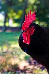 The rooster III