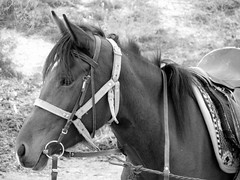 mane, mare, stallion, rein, halter, bridle, pack animal, horse tack, horse, monochrome photography, mustang horse, monochrome, black-and-white,
