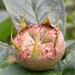 Small photo of Medlar
