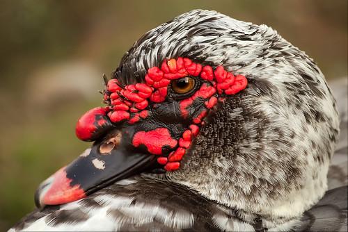 "bird duck texas waterfoul austintexas ""round canoneos30d rock"" canonef70200f4lusm npod motleypixel royniswanger"