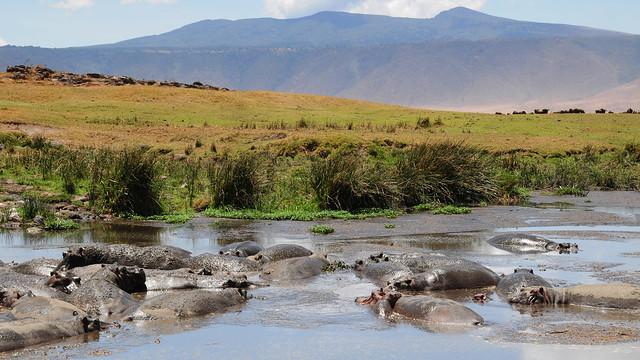 Hipopótamos en la lagunas del cráter del Ngorongoro, Tanzania.